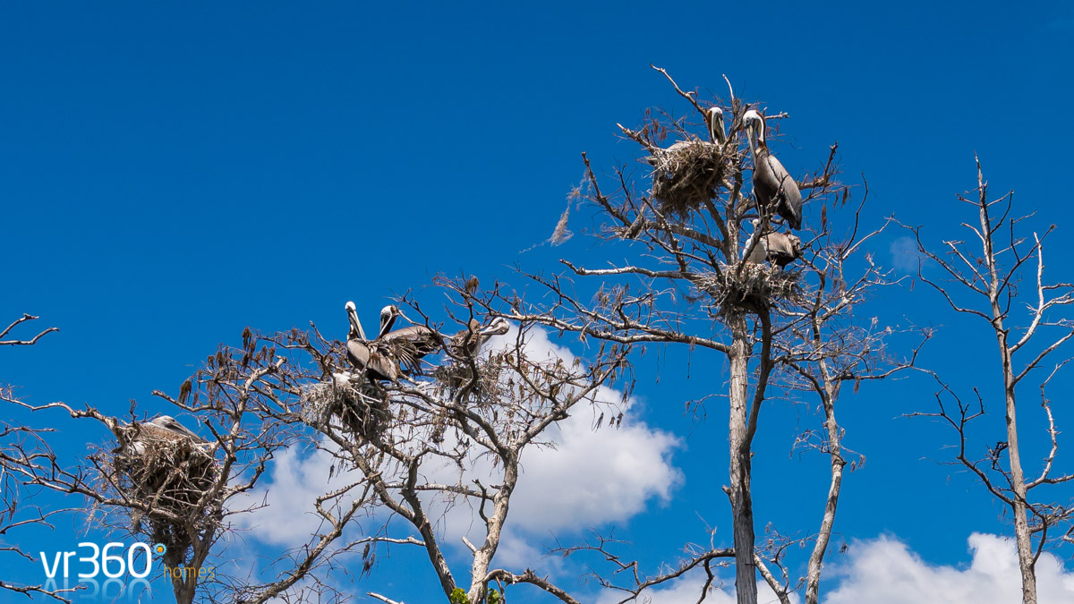 Pelicans nesting on Butler Chain of Lakes